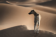 A Sloughi (Arabian greyhound) in the desert of Morocco.