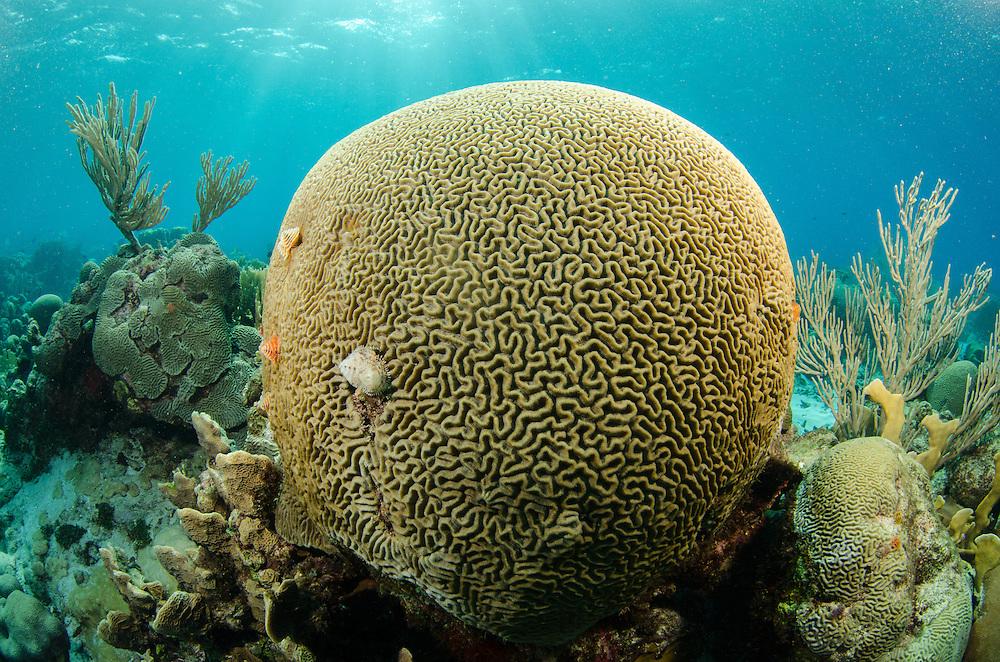 Bonaire Marine Park, Caribbean, Brain Coral