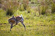 Aquidauana_MS, Brasil...Veado femea na fazenda Rio Negro no Pantanal...A female deer in Rio Negro farm in Pantanal...Foto: JOAO MARCOS ROSA / NITRO