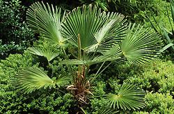 Trachycarpus wagnerianus rising out of Hebe rakaiensis