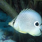 Foureye Butterflyfish flit about reef tops, often in pairs in Tropical West Atlantic; picture taken Key Largo, FL.
