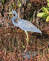 Tricolored Heron (Egretta tricolor). Black Point Wildlife Drive, Merritt Island Wildlife Refuge. Merritt Island, Brevard County, Florida. Image taken with a Nikon D3x camera and 300 mm f/2.8 VR lens.