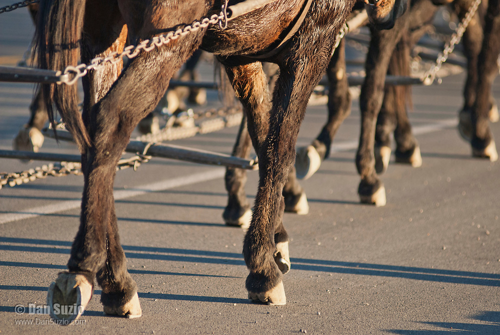 Close-up of mules' feet pulling a borax wagon. A demonstration of an original twenty-mule-team borax wagon was part of the festivities at the Grand Re-Opening of the Furnace Creek Visitor Center on November 3-4, 2012, in Death Valley National Park, California