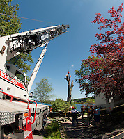 Zack West of ZD Tree Service positions himself on an oak tree at the home of John Treacy with the assistance of Reliable Crane cutting the 100' tree down in sections during the day Friday.  (Karen Bobotas/for the Laconia Daily Sun)