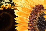 """A close look of a sunflower reveals wonderful shapes and patterns, beautiful details in the petals and the fascinating complexity of the sunflower's center. For IMAGE LICENSING just click on the """"add to cart"""" button above.<br /> <br /> Fine Art archival paper prints for this image as well as canvas, metal and acrylic prints available here:http://2-julie-weber.pixels.com/featured/rings-and-things-julie-weber.html?newartwork=true"""
