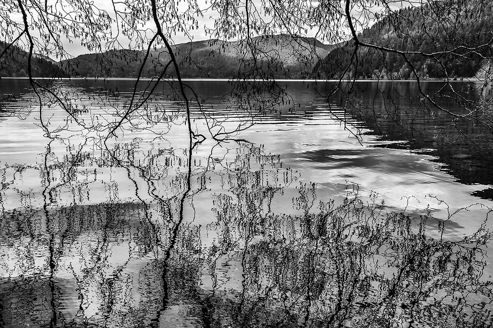Pacific red dlder (Alnus rubra), April, Lake Crescent, Olympic National Park, Clallam County, Washington, USA