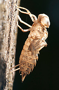 Cicada skin casing, on tree, Panama, Central America, Gamboa Reserve, Parque Nacional Soberania, insect recently hatched from larvael skin
