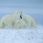 Polar Bear (Ursus Martimus) female charges an intruding male, and her cub follows suit. Churchill, Manitoba, Canada