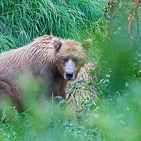 USA, Alaska, Katmai. Grizzly Bear mama wathcing out.