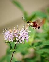 Clearwing Hummingbird Moth on a Wild Bergamot (Monarda fistulosa) Flower. Image taken with a Nikon D5 camera and 70-200 mm f/2.8 lens.