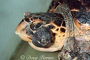 hawksbill sea turtle, Eretmochelys imbricata, suffering from fibropapilloma tumors, Turtle Hospital, Marathon, Florida
