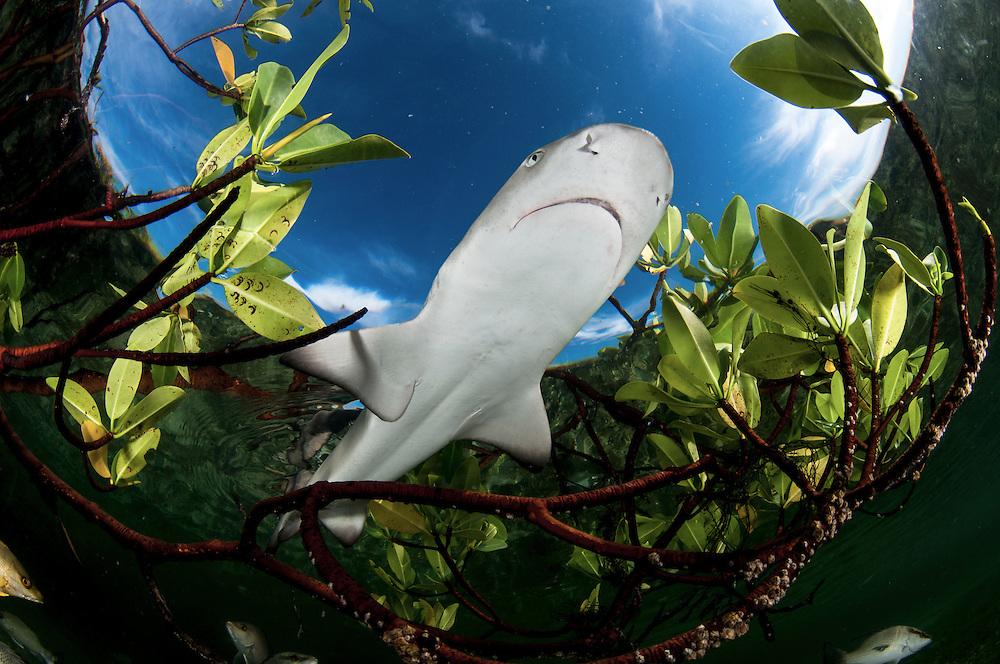 Lemon shark pup swimming through green leaves of a Mangrove forest.
