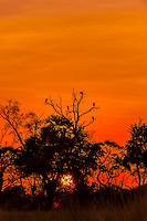Marabou storks in tree at sunset, Kwara Camp, Okavango Delta, Botswana.