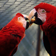 Captive red parrots share a meal in Banos, Ecuador.