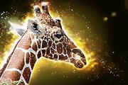 Digitally enhanced image of Reticulated Giraffe (Giraffa camelopardalis reticulata) Photographed in Kenya, Samburu National Reserve, in February