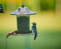 Downy Woodpecker. Image taken with a Nikon D850 camera and 200 mm f/2 VR lens