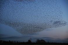 UK - Starling Murmuration On Scottish Border - 08 Nov 2016