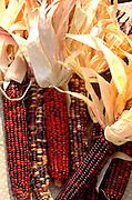 Indian corn on display at farmers market.  St Paul Minnesota USA
