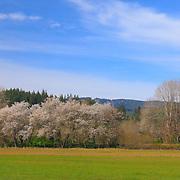 Roadside Oak Trees - Highway 6 Oregon