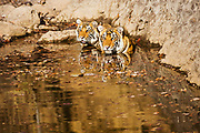 Two Bengal tigers (Panthera tigris tigris) slowly sitting together in a water hole, Ranthambhore National Park, Rajasthan, India,