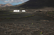 Grapevines growing in black volcanic soil white farm building, La Geria, Lanzarote, Canary Islands, Spain