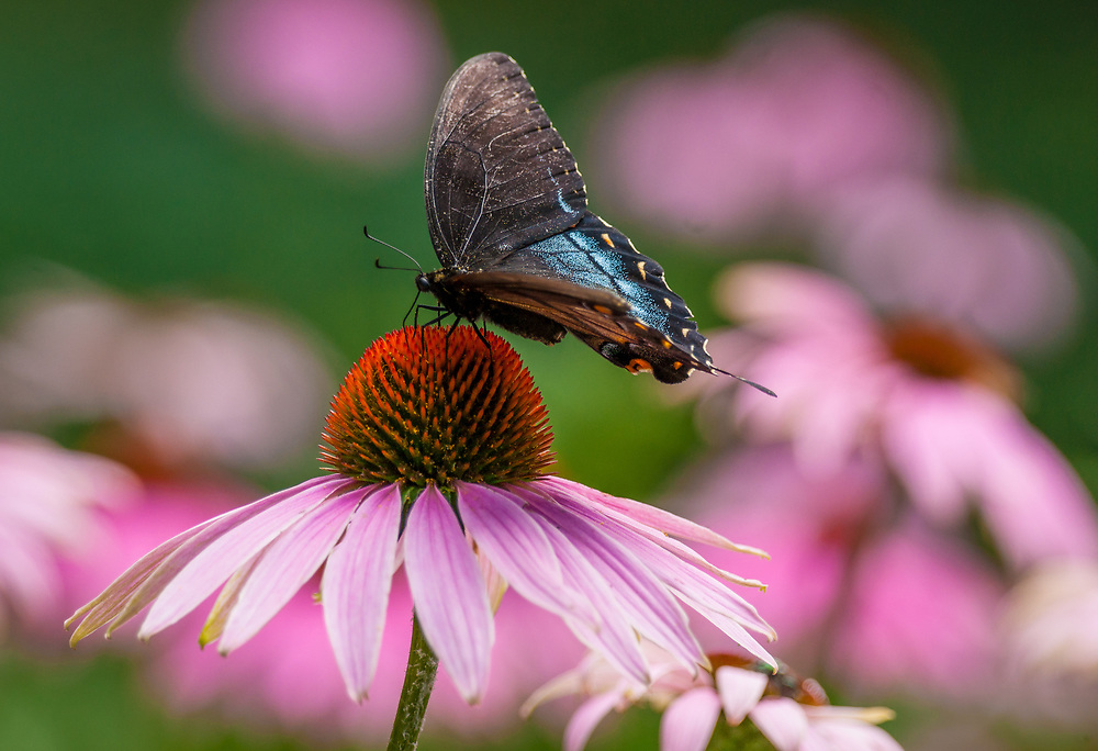 A Red-Spotted Purple Admiral Butterfly sits on a purple coneflower. Photo by Adel B. Korkor.