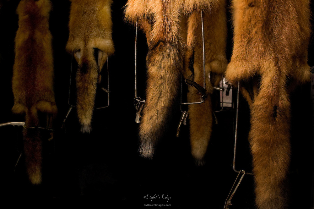 The furs of recently trapped and skinned foxes hang in a south Jersey farmers barn loft for drying. The farm has been owned for generations and the process of culling the population for disease as well as crop protection has been a part of farmers' lives even longer.