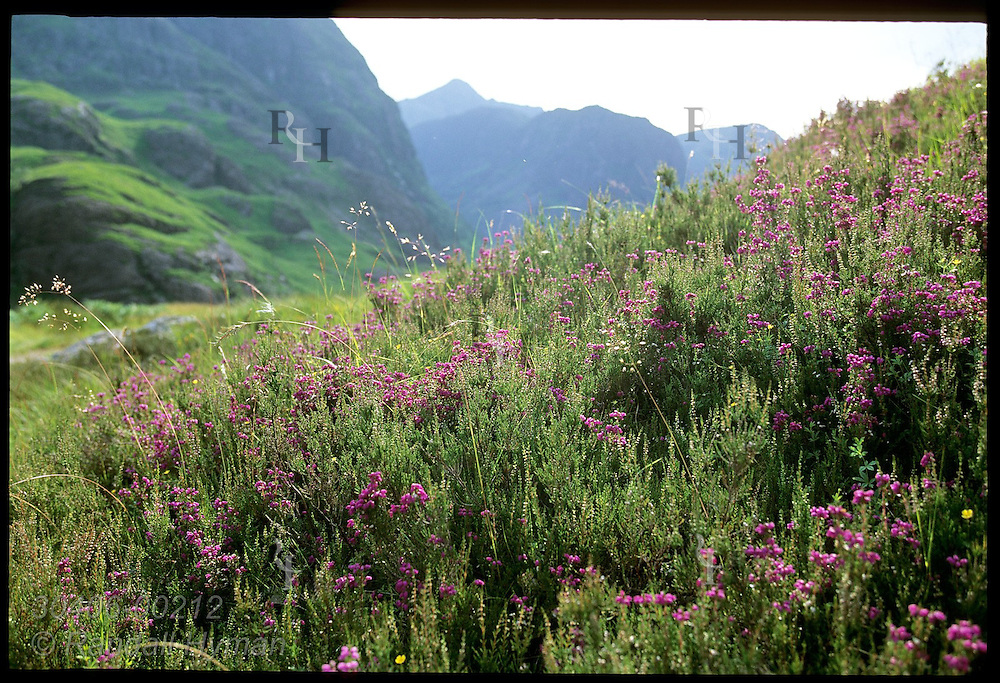 Heather blossoms in mountain pasture in upper Glen Coe on a July afternoon: Glencoe, Scotland.