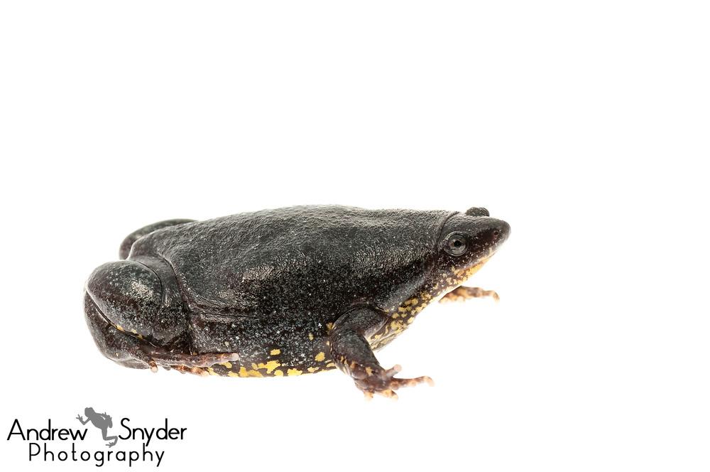 Elachistocleis surinamensis, Kanuku Mountains, Guyana, July 2014