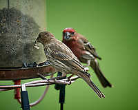 House Finch. Image taken with a Nikon D5 camera and 600 mm f/4 VR lens (ISO 1000, 600 mm, f/5.6, 1/1250 sec)