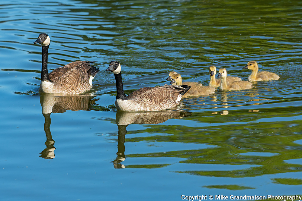 Canada geese (male and female) with goslings in pond Canada goose (Branta canadensis)<br />Winnipeg<br />Manitoba<br />Canada