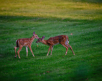 Alpha Fawn telling the cousin she doesn't smell good. Image taken with a Fuji X-T3 camera and 200 mm f/2 lens