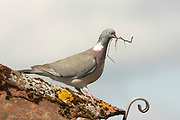Woodpigeon, Columba palumbus, on house roof with nesting material, Inverness-shire, Highland.<br /> landscape; grey; gray; single; lone; one; alone; season;<br /> seasons; spring; walk; walking; alert; look; looking; watch;<br /> watching; animal; bird; birds; pigeon; pige