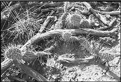 Mesa Verde National Park, Colorado, B&W photograph of cactus and dead wood, near Balcony House. Shot on Panatomic-X film, Nikon Ftn Camera, 125th sec f/11, lens 35/2.5 Nikkor Lens.