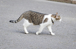 © Licensed to London News Pictures. 16/07/2013. London, UK. Larry, the Number 10 cat, is seen on Downing Street in London today (16/07/2013), shortly before ignoring the attention of the British Prime Minister David Cameron. Photo credit: Matt Cetti-Roberts/LNP