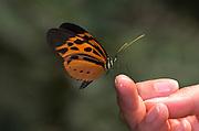 Butterfly feeding on sweat on hand of tourist, Athyrtis mechanitis, Manu, Peru, jungle, Amazonian, Ithomiini species, orange and black. .South America....