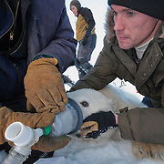 Merav Ben-David from the University of Wyoming  and project leader of the Polar Sea Icebreaker polar bear research cruise, passes by her two colleagues John Whiteman and Hank Harlow as they collect breath from a polar bear for a breath analysis experiment. Arctic Ocean