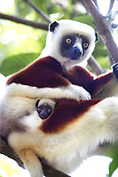 Mother and baby lemurs in a tree, closeup, Madagascar. Wildlife fine art photography prints for sale. Nature and landscape wall art.