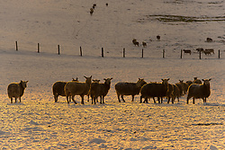 © Licensed to London News Pictures. 29/12/2020. Llanfihangel Nant Melan, Powys, Wales, UK. Sheep are seen in a winter landscape near Llanfihangel Nant Melan in Powys, Wales, UK. Photo credit: Graham M. Lawrence/LNP