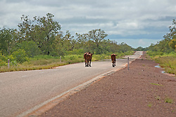 Young cattle meander down the middle of the road between Broome and Derby in the wet season.