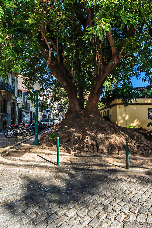 A tree in Funchal, Madeira.