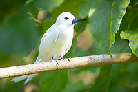 White Tern in Seychelles