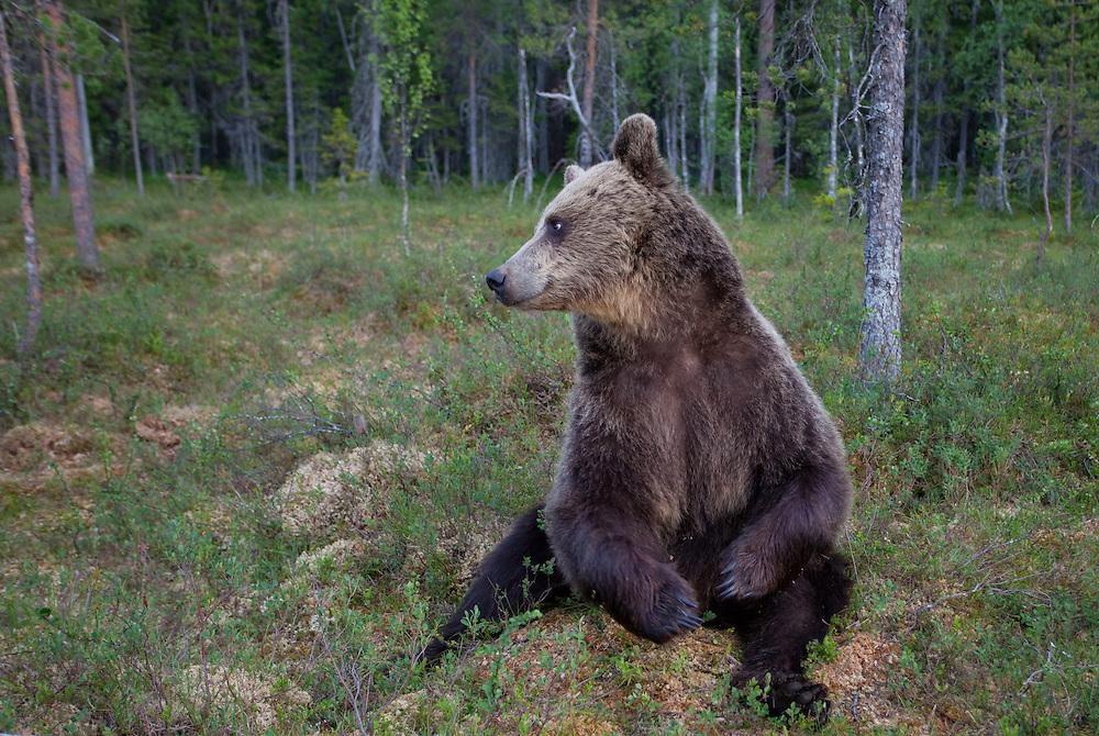 European brown bear (Ursos arctos), Kuhmo, Finland.