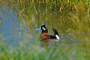 Ruddy duck (Oxyura jamaicensis)<br />Somerset<br />Manitoba<br />Canada