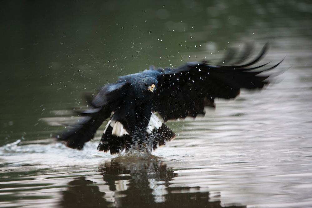 Great Black Hawk (Buteogallus urubitinga)<br /> Northern Pantanal<br /> Mato Grosso<br /> Brazil