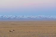 Tibetan antelope, Pantholops hodgsonii, Keke Xili / Hoh Xil nature reserve, Tibetan plateau, Qinghai, China