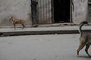 Street dogs. Habana Vieja, Cuba.