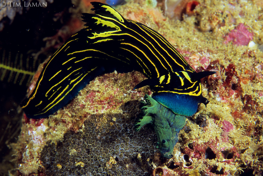 Nudibranch (Roboastra luteolineolata) eating a Tambja sp.
