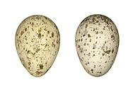 Chough - Pyrrhocorax pyrrhocorax
