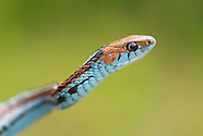 San Francisco Garter Snake, Thamnophis sirtalis tetrataenia